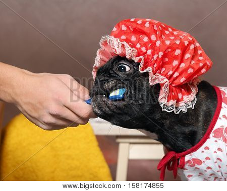 Funny dog brush their teeth with a toothbrush. Dog in a shower cap and gown. Man's hand. The concept of dental care cleanliness hygiene pets