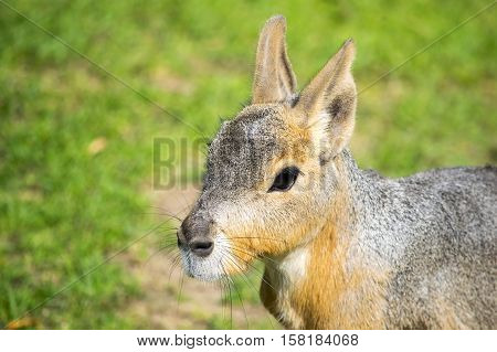 The Patagonian mara (Dolichotis patagonum), a relatively large rodent. Head of Patagonian Mara