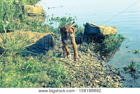 dog breed deutsch boxer, male in  sun, runs along bank of river on rocks next to lake