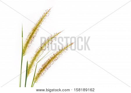 Flower grass isolated on a white background