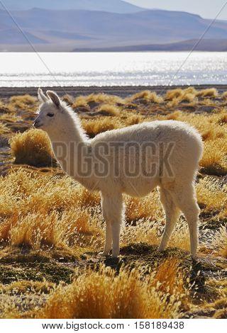 Bolivian Alpaca