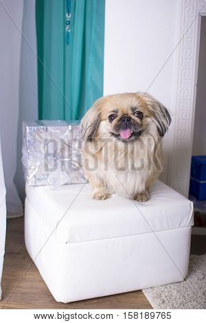beautiful pekingese on soft sofa with a gift by the fireplace