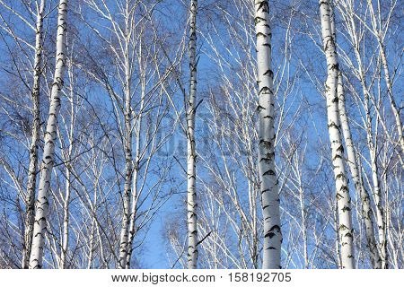 Beautiful landscape with white birches against blue sky. Birch trees in bright sunshine. Birch grove in autumn. The trunks of birch trees with white bark.