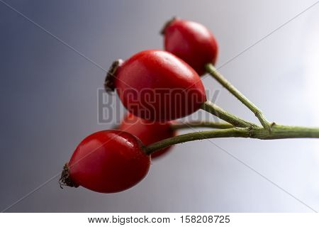 Rose Hips On Branch Close Up. Dog Roses On Dark Background.