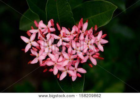 Closeup of pink Ixora flower same as heart in garden , dark tone style