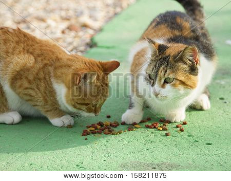 Two different color cats eating catfood on the green asphalt