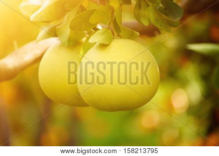 Ripe pomelo fruits hang on the trees in the citrus garden. Harvest of tropical pomelo in orchard. Pomelo is the traditional new year food in China, it gives luck. Agricultural food background