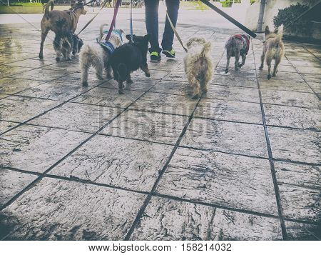 Professional dog walker with a bunch of dogs in the old city of Seville Spain