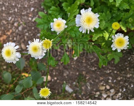 Feverfew plant with white yellow flowers during summer in Austria, Europe
