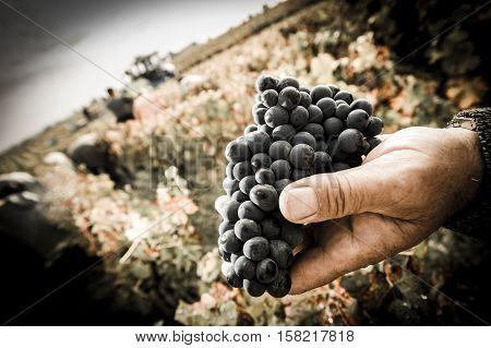 Grapes harvest Farmers hands with freshly harvested black grapes Medoc France