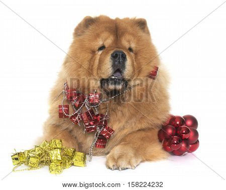 christmas chow chow dog in front of white background