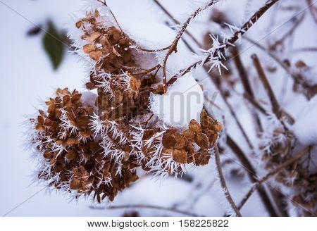 Hydrangea in the frost. dry hydrangea. winter
