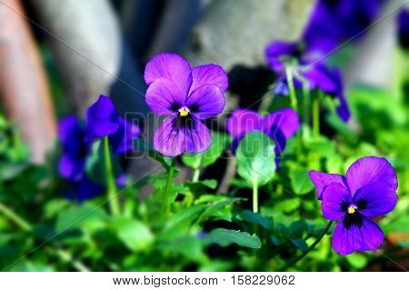 Purple heartsease in flowerbed with selected focus.