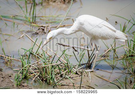Beautiful African cattle egret bird hunting at waterhole in Pendjari NP, Benin.