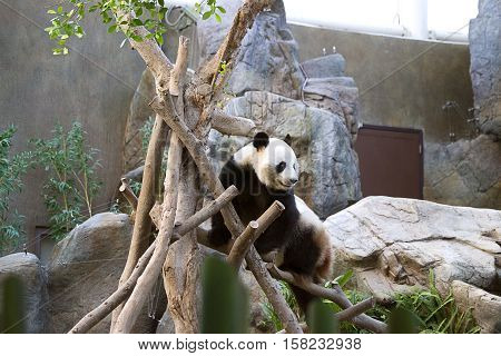 Black And White Panda In Ocean Park Hong Kong