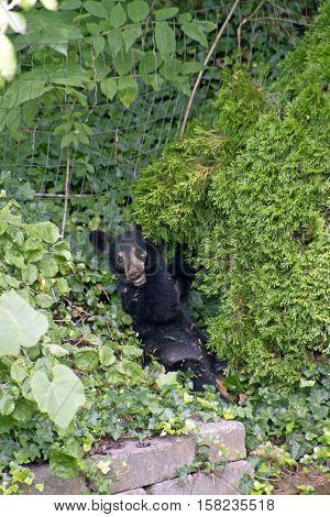 young black bear cub wildlife animal mammal foraging frisky predator instinct hugs shakes evergreen bush arbor vitae looking food summer behavior vertical