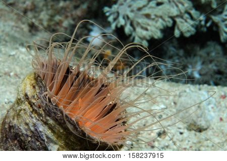 Tube anemone expanding its tentacles, Puerto Galera, Philippines