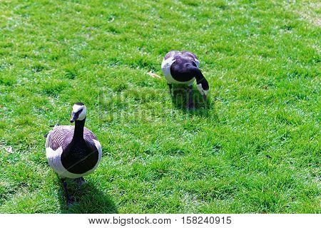 Geese In Park In Leeds Castle In Kent Uk