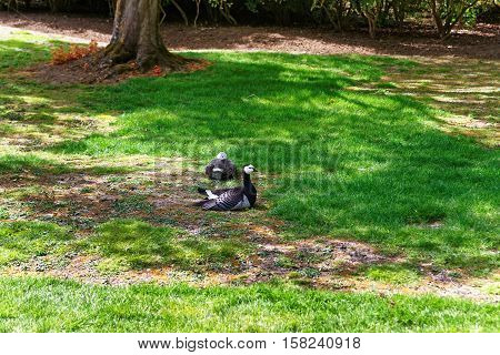 Geese In The Park In Leeds Castle In Kent Uk