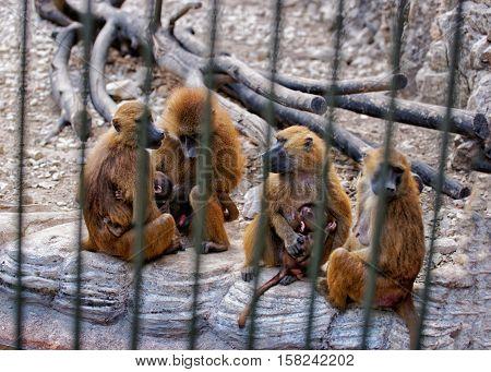Guinea Baboon In Zoo In Citadel Besancon