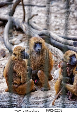 Guinea Baboons Family In Zoo In Citadel In Besancon
