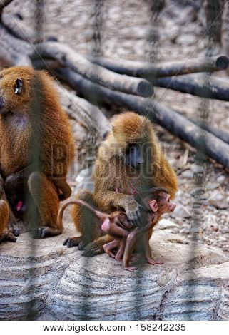Guinea Baboons Family In Zoo In Citadel Of Besancon