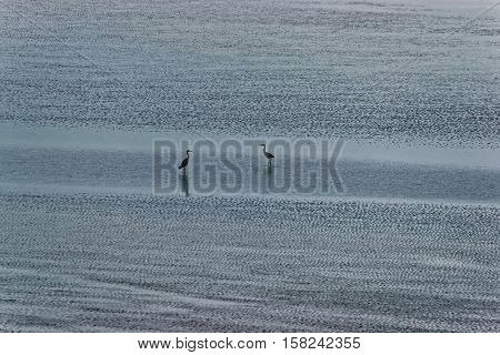 Herons At English Channel In Normandy Of Manche In France