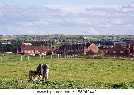 Horse And Colt In Meadow At Whitby In North Yorkshire