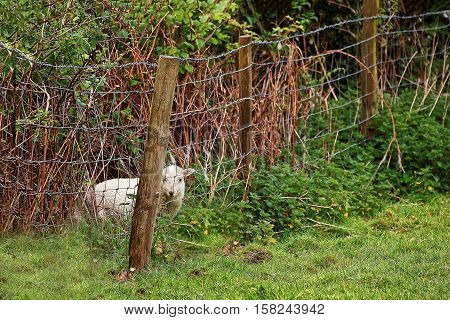 Lamb Stuck In Fence In Snowdonia National Park