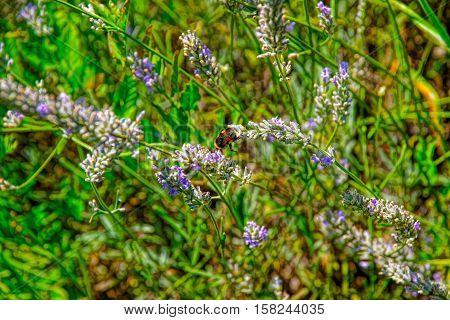 Lavender At Inner Yard Of Yverdon In Switzerland