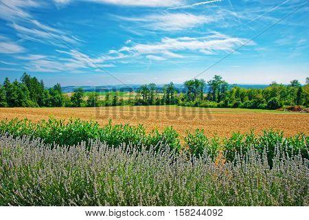 Lavender Field At Village Of Yverdon Les Bains Switzerland