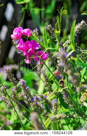 Lavender Field In Inner Yard In Yverdon Swiss