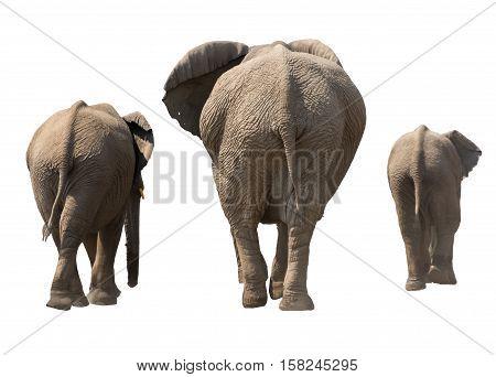 Family Of Elephants, Backside, On The Walk, Isolated On White Background