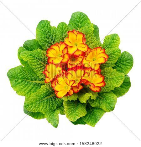 Beautiful primula with green leaves isolated on white background. Top view.