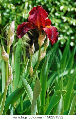 Red Wine Iris In Kitchen Garden