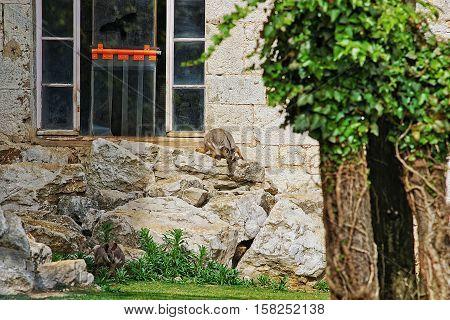 Rock Wallaby In Zoo In Citadel In Besancon