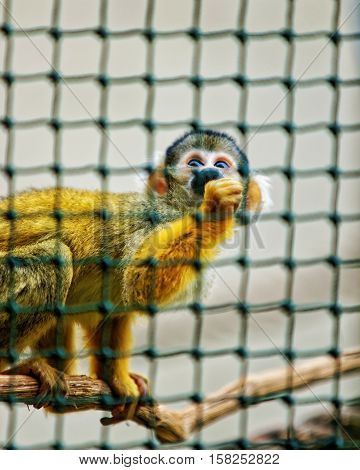 Saimiri Sciureus Monkey In Zoo In Citadel Of Besancon