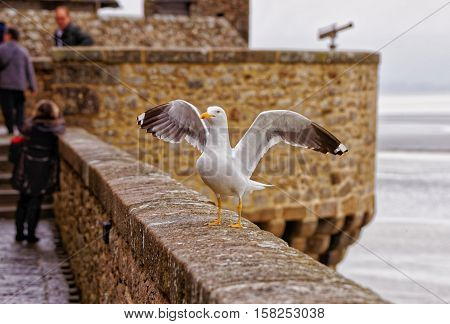 Seagull At Mont Saint Michel In Normandy Manche France