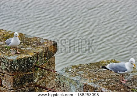Seagulls At Mont Saint Michel In Normandy In Manche France