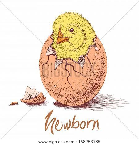 chick hatched from eggs. Animal life.Hand drawn work.Vector illustration