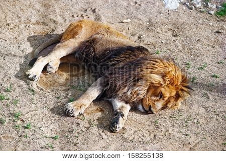 Sleeping Lion in the Zoo in the citadel in Besancon Bourgogne Franche Comte region in France.