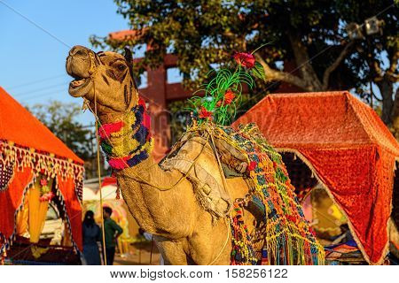 camel decorated for riding at Pushkar Camel Fair