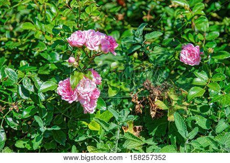 Tea Rose At Inner Yard In Yverdon In Switzerland