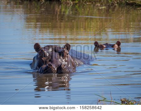 Two hippos almost completely submerged in water with only the heads sticking out, safari, in Moremi NP, Botswana, Africa