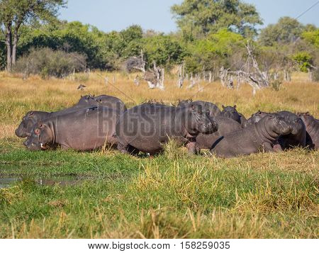 Group or family of hippos laying and grazing on grass close to river, Safari in Moremi National Park, Botswana, Africa