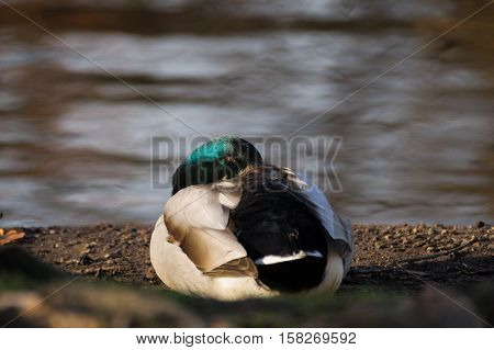Beautiful sleeping mallrd duck at the lake.