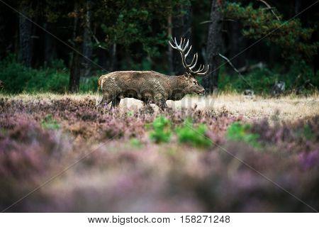 Red Deer Stag Walking In Heath During Mating Season. National Park Hoge Veluwe.