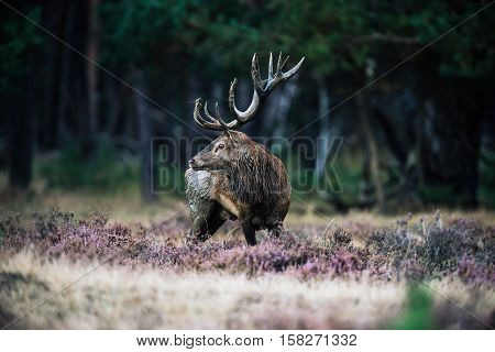 Solitary Red Deer Stag With Big Antlers Standing In Heath. National Park Hoge Veluwe.