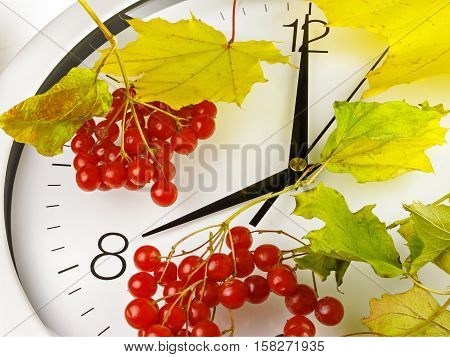 8 o'clock. Clock face with yellow leaves and red ripe viburnum. Autumn time.