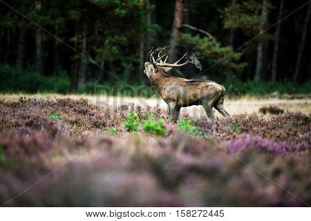 Roaring Red Deer In Rutting Season. National Park Hoge Veluwe.